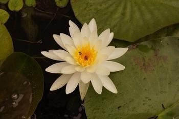 これは白い睡蓮