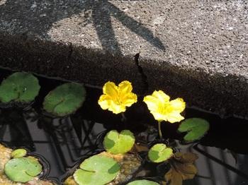 アサザの花も咲き出した
