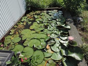 ミカン小屋の横の用水池