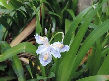 今年初のシャガの花