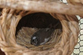 別の巣に1羽