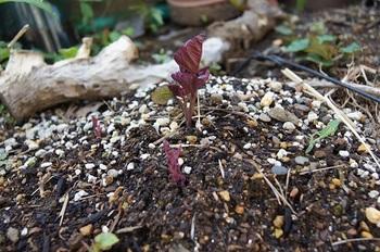 安納芋の芽