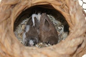 巣の中に2羽?3羽?