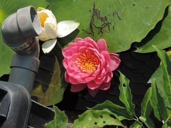 濃いピンクと白の花