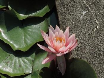 薄いピンクの花