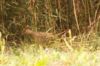 藪に逃げ込む雌雉