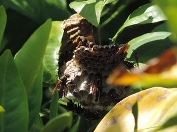ミカンの木にあった蜂の巣(コアシナガバチ)