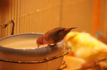 ルビーの水浴び