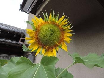 咲き始め(タイタン)