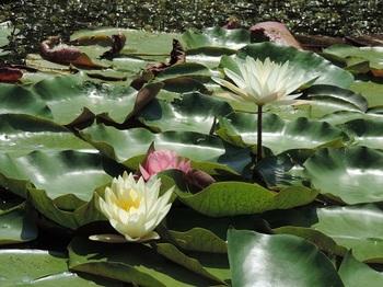 水面から出てる花