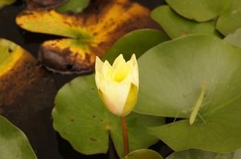 黄色い睡蓮の蕾